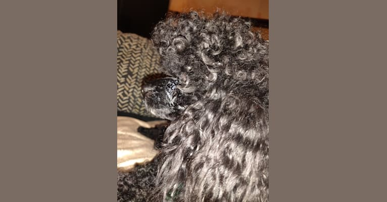 Photo of Prince Scout, a Poodle (Small)