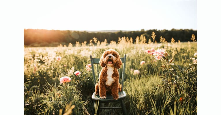 Photo of Sage, a Cockapoo  in Blairstown, NJ, USA