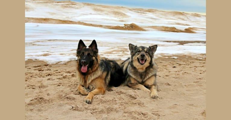 Photo of Sabaka, a Siberian Husky, German Shepherd Dog, and Great Dane mix in Indiana, USA
