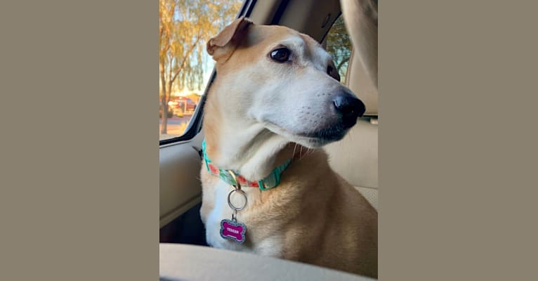 Photo of Teagan, an American Pit Bull Terrier, Australian Shepherd, Chow Chow, Chinese Shar-Pei, German Shepherd Dog, and Mixed mix in Phoenix, Arizona, USA