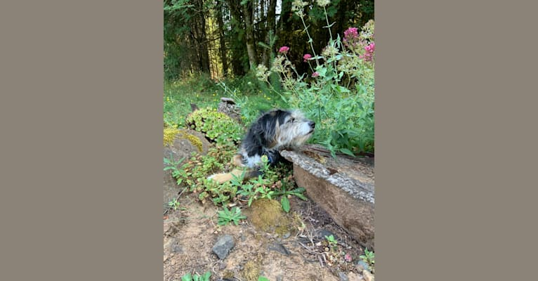 Photo of Olive, an American Pit Bull Terrier, Poodle (Small), and Mixed mix in Forest Grove, Oregon, USA