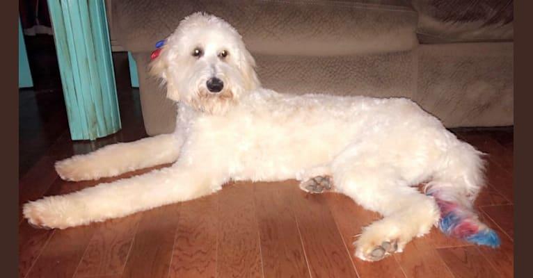 Photo of Poppie, a Poodle (Standard)  in Jonesboro, AR, USA