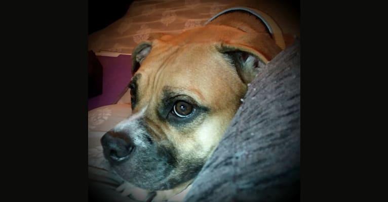 Photo of Henry, an American Bully, Bulldog, Pug, and Beagle mix in Las Vegas, Nevada, USA