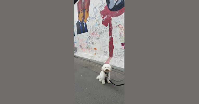 Photo of Petty, a Poodle (Small) and Mixed mix in Tijuana, Baja California, Mexico
