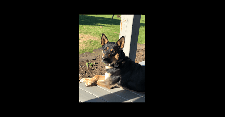 Photo of Taj Mahal, a Labrador Retriever, Australian Cattle Dog, American Pit Bull Terrier, German Shepherd Dog, Chow Chow, and Mixed mix in Derby, Vermont, USA