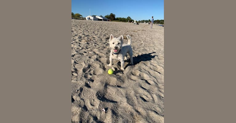 Photo of Winston, a West Highland White Terrier  in Oregon, USA