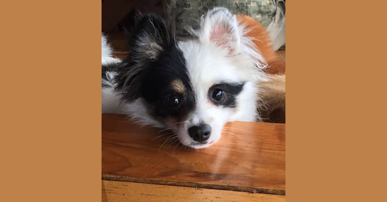 Photo of Mikey, a Pomchi  in Mt Vernon, Washington, USA