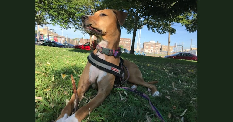 Photo of Piper, an American Pit Bull Terrier, Rottweiler, and German Shepherd Dog mix