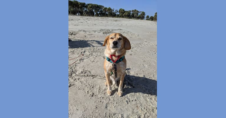 Photo of Haägen Daz, an American English Coonhound and Russell-type Terrier mix in Augusta, Georgia, USA