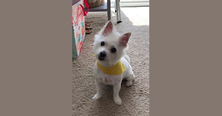 Photo of Leon, a Maltese, Chihuahua, and Rat Terrier mix in Statesville, North Carolina, USA