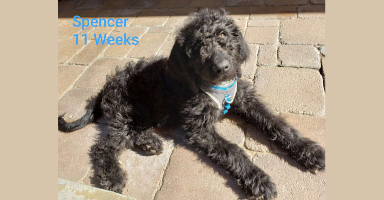 Photo of SPENCER ALEXANDER, a Labradoodle  in Iowa, USA