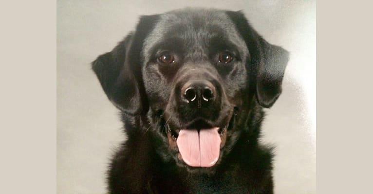 Photo of Jake, a Labrador Retriever