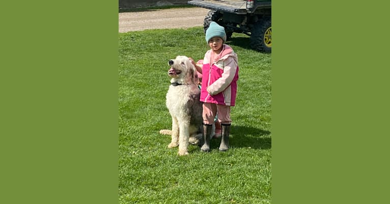 Photo of Clyde, an Old English Sheepdog  in Wauseon, Ohio, USA