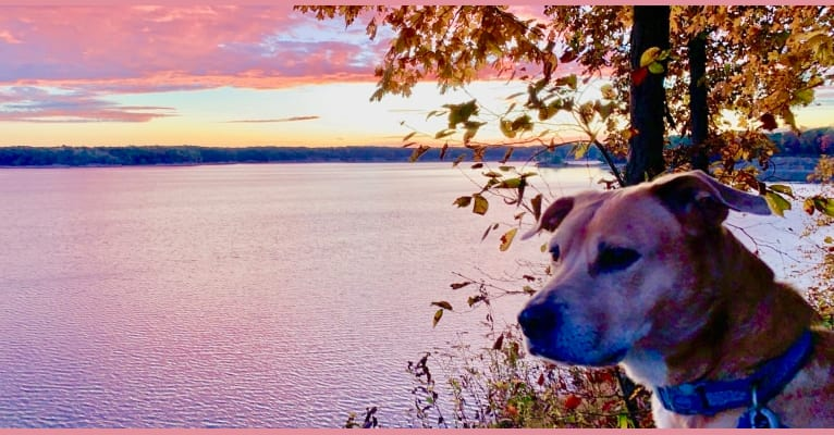 Photo of Oliver, an American Pit Bull Terrier, Rottweiler, American Staffordshire Terrier, and Mixed mix in Springfield, IL, USA