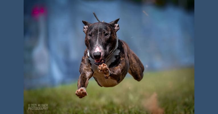 Photo of Serendipity, a Bull Terrier