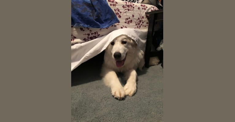 Photo of Leo, a Great Pyrenees  in Texas, USA
