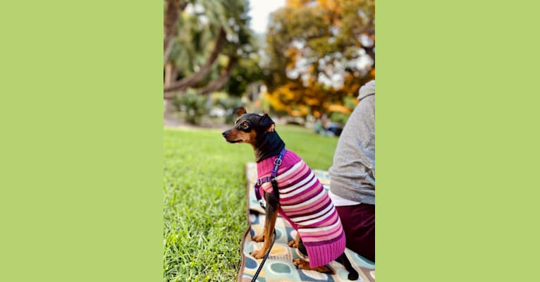 Photo of Siena, a Miniature Pinscher and Chihuahua mix in San Diego, California, USA