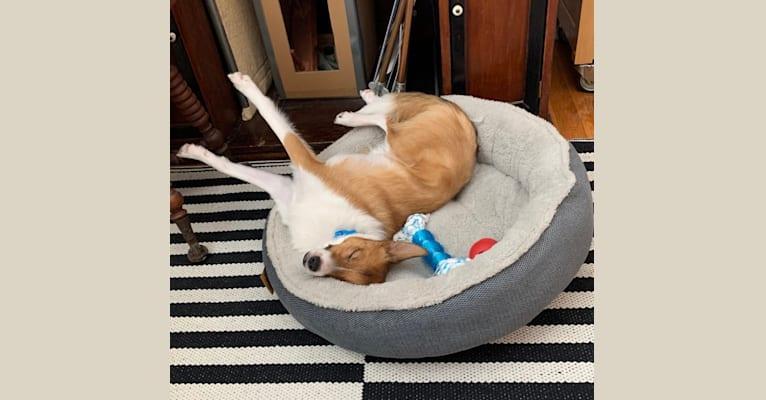 Photo of Caesar, a Shetland Sheepdog, Australian Cattle Dog, Rat Terrier, and Pomeranian mix in Wisconsin, USA