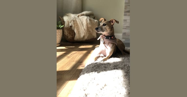 Photo of Bella, a Mountain Cur, Miniature Pinscher, and Mixed mix in Dayton, OH, USA
