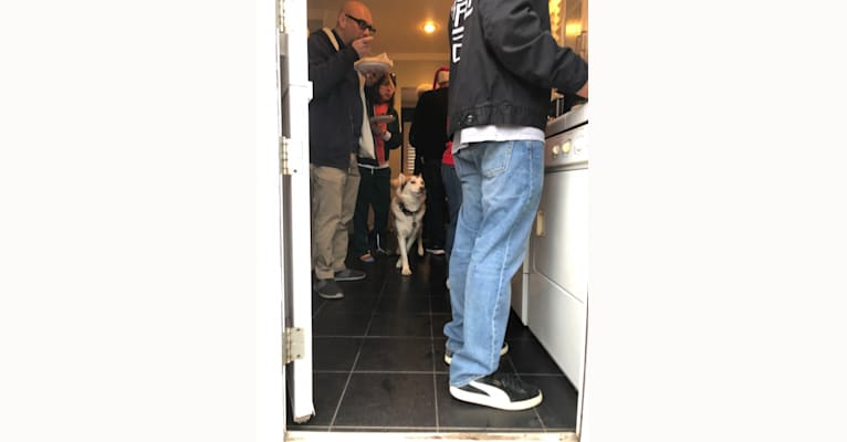 Photo of Saint, a Siberian Husky, German Shepherd Dog, and Alaskan Malamute mix in Inglewood, California, USA