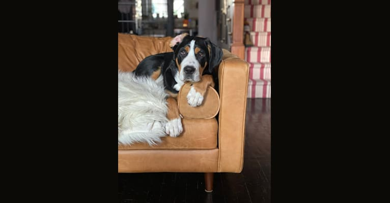Photo of Beans, a Greater Swiss Mountain Dog  in Pennsylvania, USA