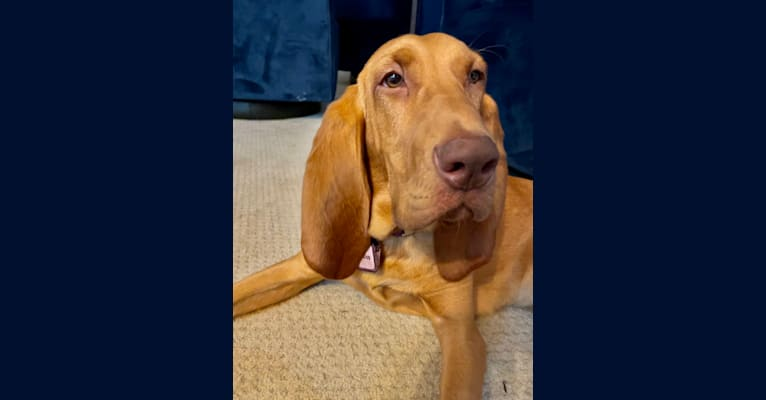 Photo of Truvy, a Bloodhound  in Merrimac, Massachusetts, USA