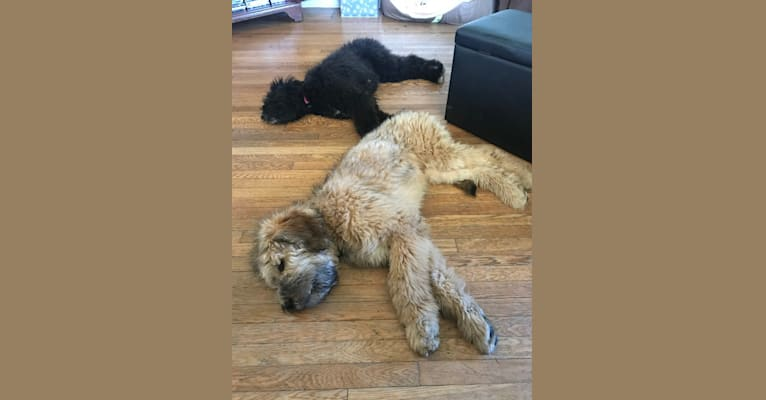 Photo of Finnely, a Saint Bernard, Bernese Mountain Dog, and Poodle (Standard) mix in Newfane, New York, USA