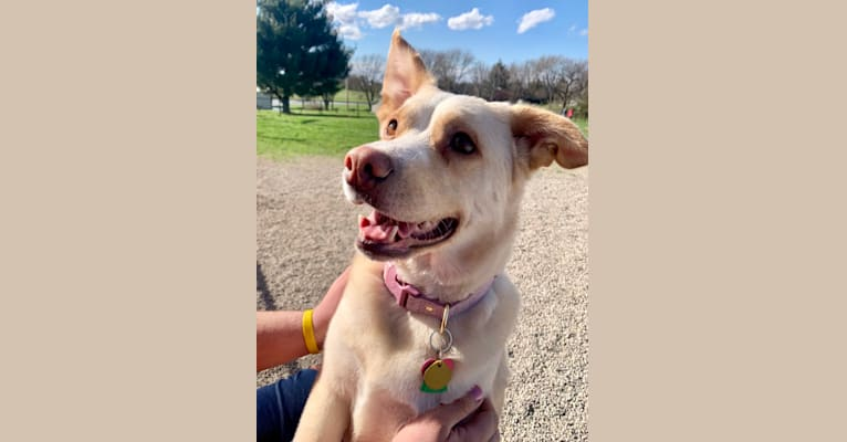 Photo of Tinsel, an Australian Cattle Dog, Labrador Retriever, Siberian Husky, Rottweiler, Chow Chow, and Mixed mix in Texas, USA