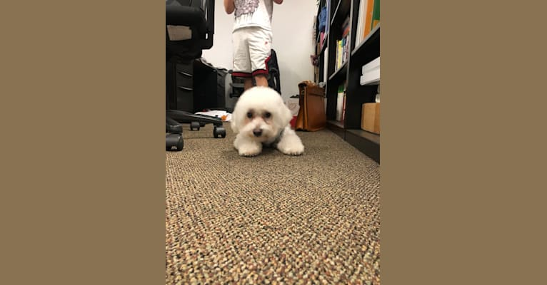 Photo of Hunter, a Poodle (Small) and Pekingese mix in Sacramento, California, USA