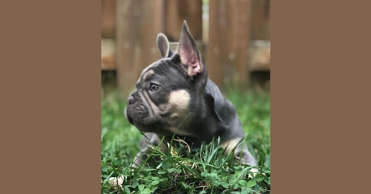 Photo of BLOSSOM PASCALA, a French Bulldog  in Cleveland, Ohio, USA