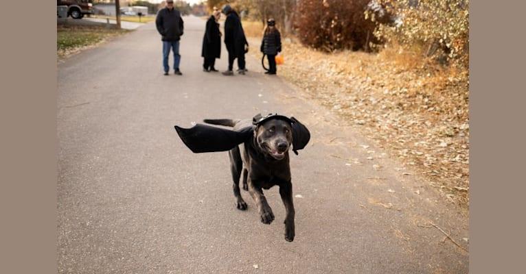 Photo of Blue, a Labrador Retriever  in Nampa, Idaho, USA