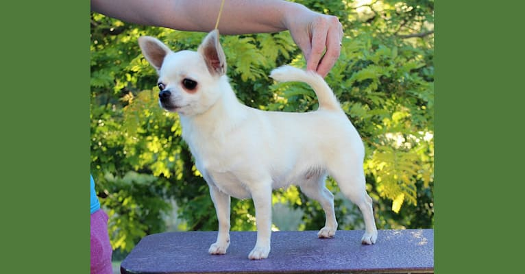 Photo of Emily, a Chihuahua  in Bayfield, Colorado, USA