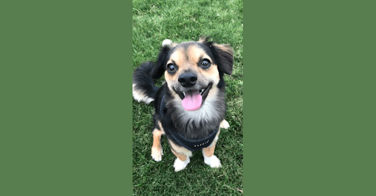 Photo of Kikko, a Chihuahua, Poodle (Small), Pekingese, Cocker Spaniel, and Mixed mix in San Diego, CA, USA