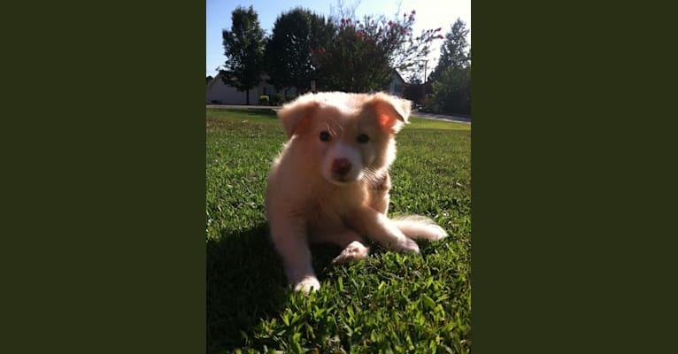 Photo of Angel, a Border Collie, Siberian Husky, English Shepherd, and Golden Retriever mix in Birmingham, Alabama, USA