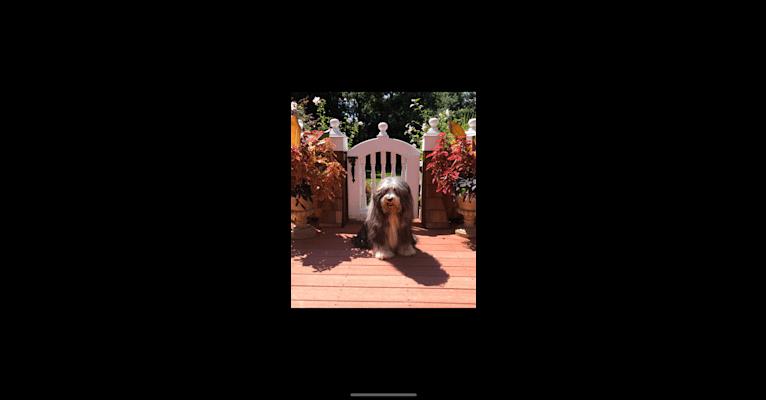 Photo of Cooper, a Bearded Collie  in Narragansett, Rhode Island, USA