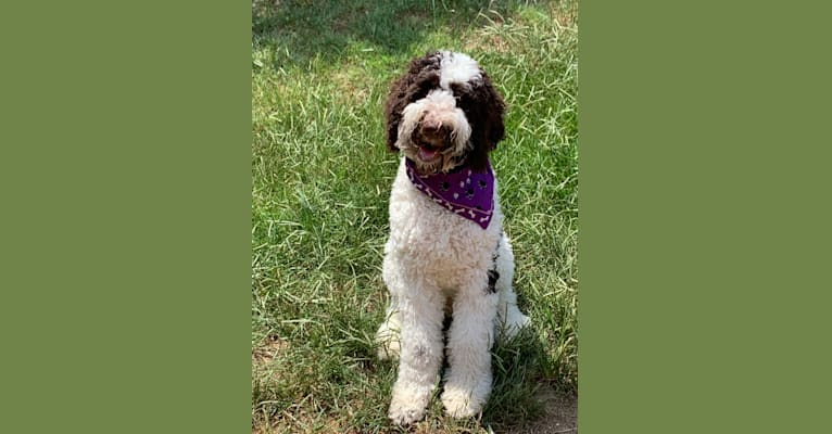 Photo of Charlie, a Poodle (Standard)  in Madison, Nashville, TN, USA