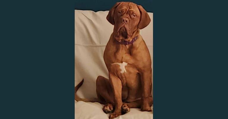 Photo of Chloe, a Dogue de Bordeaux  in Las Vegas, Nevada, USA