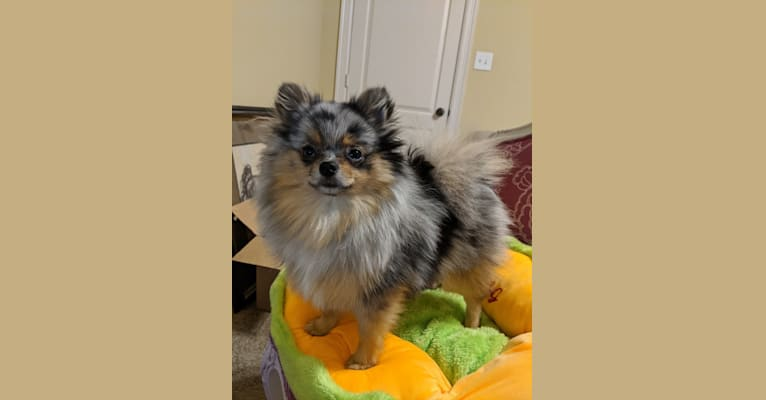 Photo of Jinju, a Pomeranian  in Houston, Texas, USA