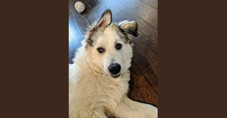 Photo of Appa, a Great Pyrenees mix in Austin, Texas, USA