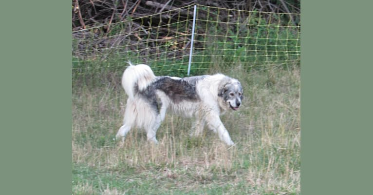 Photo of Kima, a Great Pyrenees  in Sunbury, PA, USA