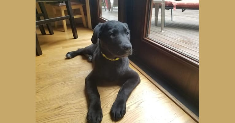 Photo of Maximus Love Huggins, a Labrador Retriever and American Staffordshire Terrier mix in Tacoma, WA, USA