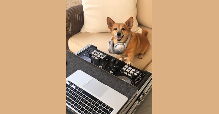 Photo of Gaga, a Pomeranian, Dachshund, Chihuahua, and Mixed mix in Bakersfield, California, USA