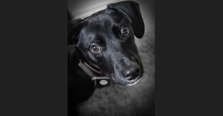 Photo of Millie, an American Pit Bull Terrier, Chihuahua, and Mixed mix in South Carolina, USA