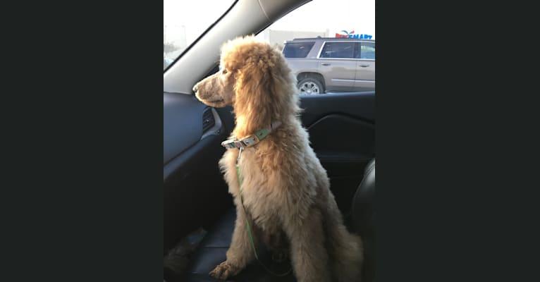Photo of Gypsy, a Poodle (Standard)  in Zachary, LA, USA