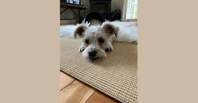 Photo of Finley, an American Village Dog, Poodle (Small), and Shih Tzu mix in Maine, USA