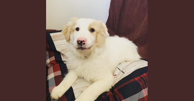 Photo of Cupid, a Golden Retriever, Great Pyrenees, and Mixed mix in North Chili, New York, USA