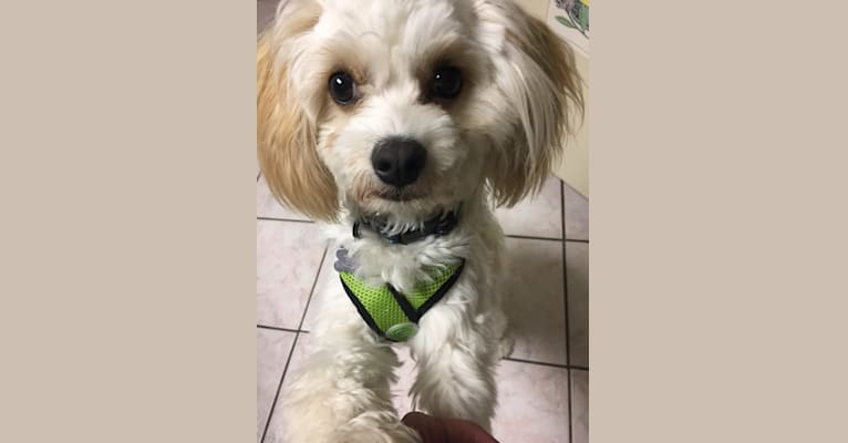 Photo of Shiloh, a Cavalier King Charles Spaniel, Bichon Frise, and Havanese mix in Pennsylvania, USA