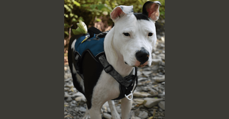 Photo of Kaalia, an American Pit Bull Terrier  in Cincinnati, Ohio, USA