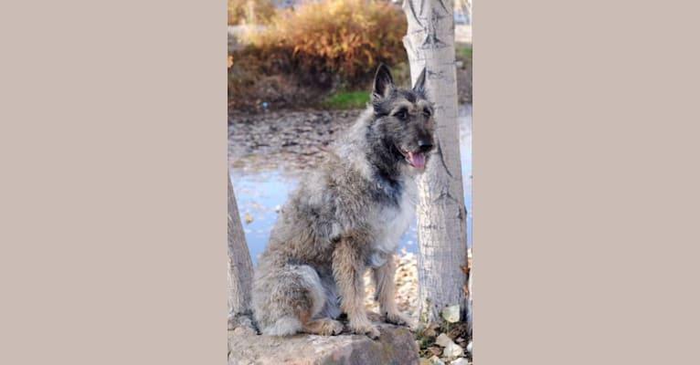 Photo of Ciel, a Belgian Shepherd  in Lodi, CA, USA