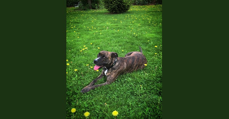 Photo of Bourbon, an American Pit Bull Terrier, Bulldog, and Boxer mix in Pennsylvania, USA